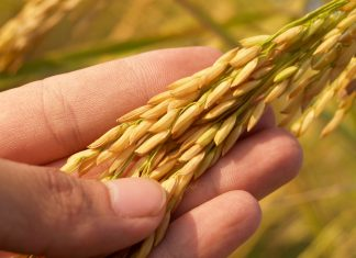 GMO grain on farm